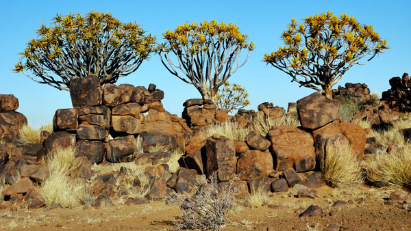 Weltreise Etappe Afrika - Köcherbaum