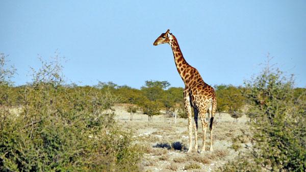 Weltreise Etappe Afrika - Giraffe