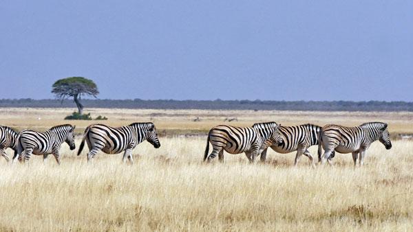 Weltreise Etappe Afrika - Zebras