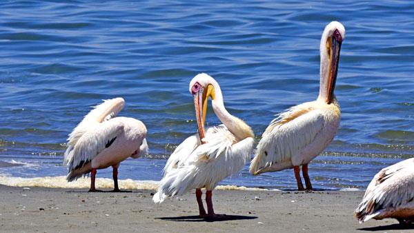 Weltreise Etappe Afrika - Namibia - Pelikane