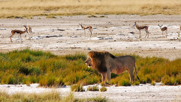 Weltreise Etappe Afrika - Löwe
